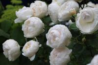 雨ばかりで憂鬱な日々 - my small garden~sugar plum~
