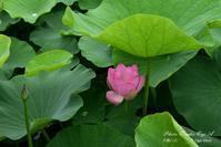 雨に咲く大賀ハス - フォト エチュード  Photo-Etudes