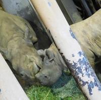 八木山動物公園のクロサイ母娘 「屋内篇」2019.06.06 - ごきげんよう 犀たち