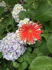 ガーベラと紫陽花コラボ - 今日もひとつだけ