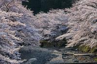 桜2019!~亀岡七谷川~ - Prado Photography!