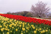 チューリップの咲く丘 - katsuのヘタッピ風景