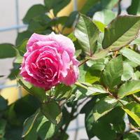お店のバラたち① - sola og planta ハーバリストの作業小屋