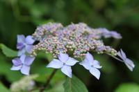 神戸市の花と知られるアジサイ - 神戸布引ハーブ園 ハーブガイド ハーブ花ごよみ