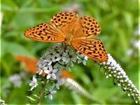 オカトラノオに集まる蝶たち - 里山の四季