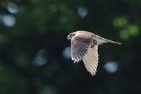 チョウゲンボウメスの餌運び - 気まぐれ野鳥写真