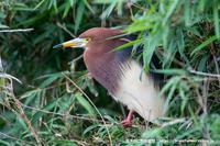 地元のサギヤマにてアカガシラサギ - 気ままに野鳥観察
