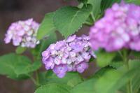 公園の紫陽花 - 猪こっと猛進
