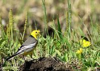 キガシラセキレイは数少ない旅鳥または冬鳥 - THE LIFE OF BIRDS ー 野鳥つれづれ記