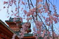平安神宮の紅枝垂れ桜 - ぴんぼけふぉとぶろぐ2