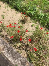 健気に咲く花たち。 - パセリの日常