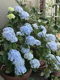 梅雨の晴れ間のベランダの植物達とちりめん山椒 - 青山ぱせり日記