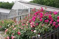 山麓に咲く薔薇 - 季節の風を追いかけて