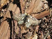 まだ、ウスバシロチョウ - 秩父の蝶