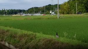 手賀沼の初夏鬼クルミの花芽が鳥に食われたのを過日発見したが、二つ難を逃れたようだ。去年も二つ実がなりました!また、水路の土手にキジが歩いていました! -