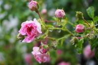 我が家の庭から(薔薇) - きょうから あしたへ その2