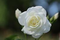 白薔薇 - MPG