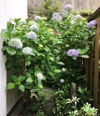 紫陽花 - ひびののひび