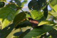 ミドリシジミ6月13日 - 超蝶