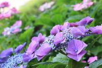 紫の季節 - わんまいる*さんぽみち