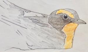 #野鳥スケッチ #ネイチャー・ジャーナル 『黄鶲』 Ficedula narcissina -