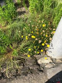 野に咲く花たち。 - パセリの日常