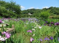 散歩2019.6.13三溪園の花菖蒲 - Gonta2019's Blog