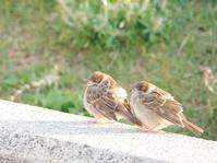 チュンの雛っ子 - ゆるゆる野鳥観察日記