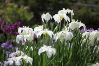 花菖蒲の季節に - 「せ」の写真集 刹那の光