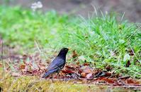 クロツグミ 雄 - azure 自然散策 ~自然・季節・野鳥~