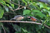 ヤマガラの幼鳥 - 綾瀬市と周辺の自然