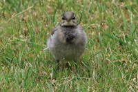 ハクセキレイのチビちゃん - 今日の鳥さんⅡ