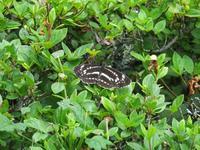 ホシミスジ - 秩父の蝶