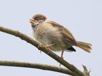 庭の子雀 - TACOSの野鳥日記