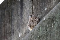 チョウゲンボウの巣立ちその2 - 私の鳥撮り散歩