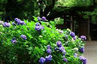 六義園の山紫陽花 - お散歩写真     O-edo line