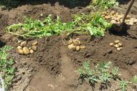 ジャガ芋の収穫 - 光さんの日常