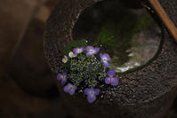 紫陽花 - くわみつの和み時間