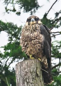 ハヤブサ(幼鳥) - くまさんの鳥撮り