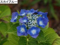 今日の紫陽花 - 南都☆花模様
