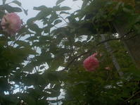 バラが咲き始める(No.52) - 薪窯冬青犬器