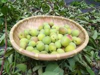梅の恵み… - 侘助つれづれ