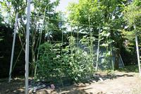 家庭菜園、収穫が始まりました。 - 平凡なプリウス乗りの日々