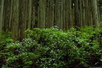 コアジサイが咲く山 - toshi の ならはまほろば