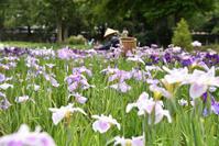 水元公園の花菖蒲 - kenのデジカメライフ