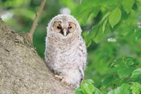 巣立ち梟 - ゆるゆる野鳥観察日記