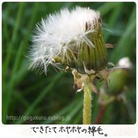【English】dandelion fluff - ほかの国のコトバ ― 8言語つまみぐい