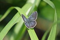 アサマシジミブルーに魅せられて - 蝶のいる風景blog