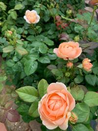 薔薇の2番花  [2019/06/14] - 春&ナナと庭の薔薇