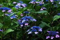 紫陽花が見頃です - 風見鶏日記